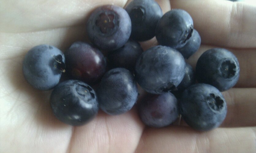 1st homegrown blueberries